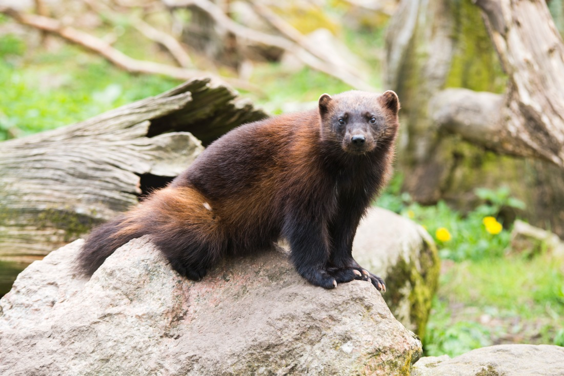 Wolverine on a rock